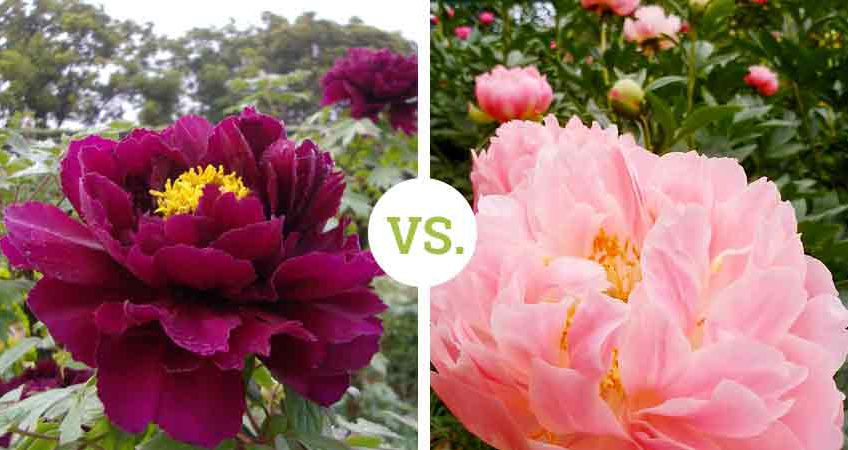 Tree versus stem peony - Botan versus Shakuyaku